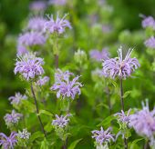 picture of rhizomes  - Group of Wild Bergamot (Monarda fistulosa) flowers