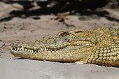 Постер, плакат: Нильский крокодил crocodylus Niloticus Basking в лучах солнца