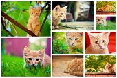 image of orange kitten  - Peaceful orange red tabby male kitten - JPG