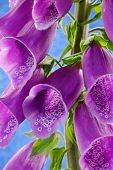 pic of digitalis  - Close up of the flowers of a Common Foxglove  - JPG