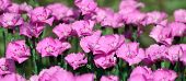 Pink group of dianthus flowers