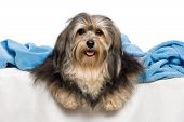 Cute Lying Tricolor Havanese Dog In A Bed