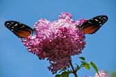 image of hecate  - Syringa vulgaris with a Heliconius hecate butterfly - JPG