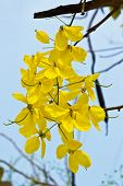 stock photo of cassia  - Cassia  fistula in the country of thailand - JPG