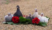image of pigeon loft  - Pigeon Nestlings Birds sitting on sand together with Roses Flower - JPG