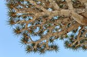 picture of spiky plants  - Spiky leaves of Dragon tree  - JPG
