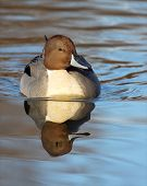 foto of pintail  - Male Northern Pintail duck swimming towards the viewer with nice reflection - JPG