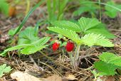 pic of strawberry plant  - Wild strawberry berry growing in natural environment - JPG