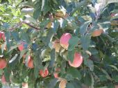 stock photo of yakima  - Apples ripeing on trees in orchard in Yakima - JPG