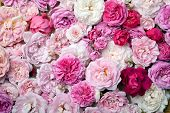 image of english rose  - Background image of pink french and english roses - JPG