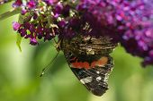 Red Admiral Butterfly On Butterflybush