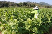stock photo of snuff  - Tobacco plantations in the northern of Thailand - JPG