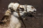 foto of dromedaries  - brown dromedary bite in the volcanic timanfaya lanzarote spain africa - JPG