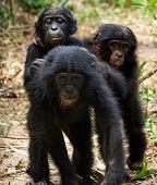 stock photo of chimp  - Three cubs of Chimpanzee bonobo  - JPG