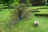 stock photo of peahen  - Peacock beckons peahen in the castle garden in Kromeriz - JPG