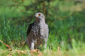 stock photo of goshawk  - Photo of northern goshawk standing on a ground - JPG