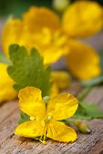 picture of celandine  - yellow celandine flowers macro on a wooden table - JPG