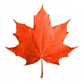 stock photo of canada maple leaf  - Red maple leaf isolated white background - JPG