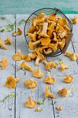 image of chanterelle mushroom  - Forest chanterelle mushrooms in a iron basket