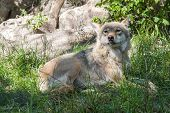 picture of lupus  - European gray wolf  - JPG