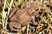 picture of wart  - Common toad Bufo bufo also known as European toad - JPG