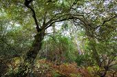 picture of temperance  - Evergreen oak tree in a temperate climate moorland forest - JPG