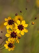 stock photo of wildflowers  - This is golden Alabama Coreopsis tinctoria Wildflowers. These are growing in Morgan County. These pretty daisy-like wildflowers re-seed, and come back prettier every year.