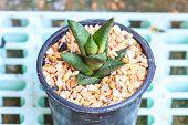 picture of cactus  - Cactus in Pots Pot Cactus Cactus in garden - JPG