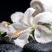 foto of tendril  - spa concept of blooming delicate white hibiscus green twig with tendril passionflower with drops on zen basalt stones closeup - JPG