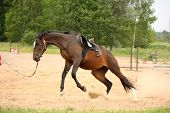 picture of breed horse  - Brown playful latvian breed horse galloping on the line and bucking