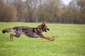 image of german shepherd dogs  - running German shepherd on the grass in the park - JPG