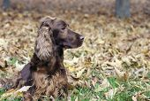 picture of english setter  - Beautiful young Irish Setter looking in the Autumn leaves - JPG