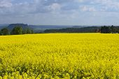 image of rape-seed  - Rape field in early spring in Saxony Germany - JPG