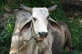 picture of caw  - Closeup of a massive white Buffalo chuwing something - JPG