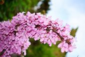 image of judas tree  - Cercis siliquastrum flowers on a mature branch - JPG