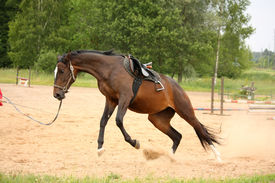 picture of bucks  - Brown playful latvian breed horse galloping on the line and bucking