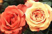 image of orange blossom  - Yellow and orange roses - JPG