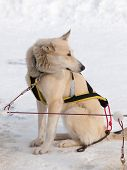 stock photo of harness  - Sleigh dog sitting in snow alone with harness - JPG