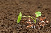picture of potash  - Medicinal thankuni plant on ground with chemical fertilizer - JPG