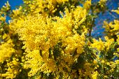 picture of mimosa  - Mimosa yellow flowers against blue sky - JPG