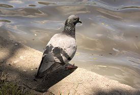 picture of pigeon  - pigeon close up or pigeon with sunlight - JPG