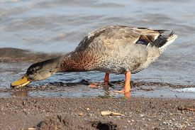 image of gadwall  - female gadwall anas strepera drinking in a pond - JPG