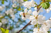 Bee Collects Nectar And Pollen On A Blossoming Cherry Tree Branch. poster