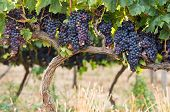 Постер, плакат: Ripe purple grapes growing and hanging on grape tress in vineyard Shrub grapes before harvest Larg