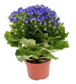 stock photo of flower pot  - Blue flower in a pot isolated over white - JPG
