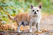 A Cute Sandy Small Chorkie Puppy Dog Standing In The Countryside Facing The Camera. A Yorkshire Terr poster