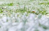 Green Grass Under The Snow. Grass Covered With Snow. White Snow And Green Grass Background. Grass On poster