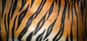 Tiger Pattern Background / Real Texture Tiger Black Orange Stripe Pattern Bengal Tiger Beautiful Bac poster
