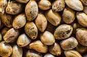 Many Cannabis Seeds. Hemp Seeds Background In Macro. Macro Detail Of Marijuana Seed. Organic Hemp Se poster