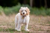 A Cockapoo Puppy Standing In A Field. A Cockerpoo Puppy Wearing A Collar With Curly Fur And Big Ears poster